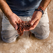 Phd researcher David Valero of the Centro de Investigacion Cientifica de Yucatan (CICY) holds sargassum seaweed at the shore of Chelem beach in the city of Merida in Mexico. Valero is part of the  team working to design a seaweed-to-biogas process that will put a sargassum seaweed infestation to good use. Photo: Tito Herrera for MIT Technology Review.