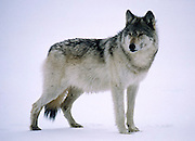 Alaska. Wolf in snowscape.
