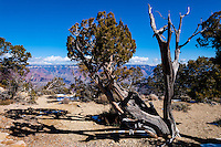 United States, Arizona, Grand Canyon. The views from Maricopa Point cover 180° of the Grand Canyon. An old tree.