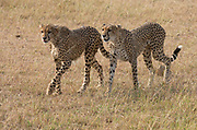 Two young cheetahs on the savannh of Maasai Mara, Kenya