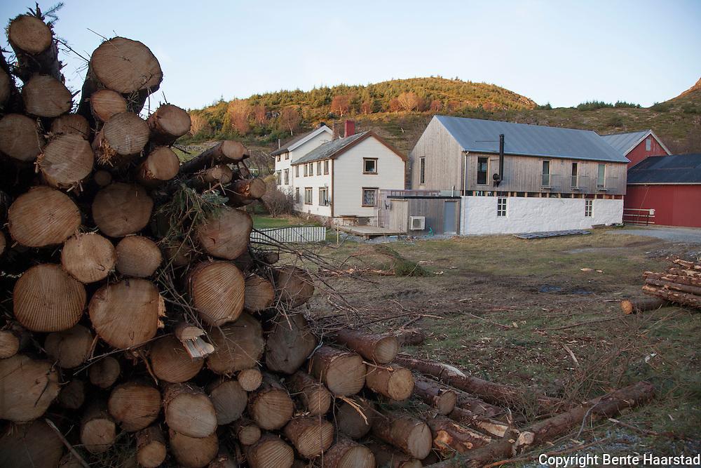 Aksjon mot pøbelgran, sitgagran (Picea sitchensis), som er et svartelistet, fremmed treslag i Norge. Stokkøya i Sør-Trøndelag. Flere miljøorganisasjoner deltar, som Norsk botanisk forening, Naturvernforbundet og WWF.