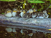 Seven mallard ducklings (Anas platyrhynchos) rest on a log in the wetlands of the Washington Park Arboretum, Seattle, Washington.