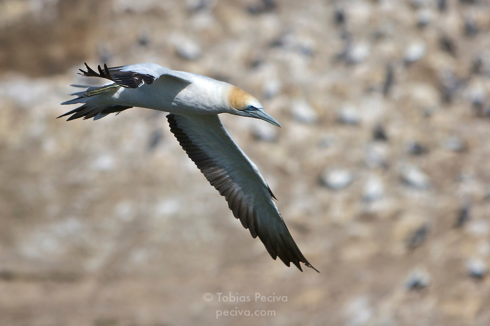 An Australasian Gannet swooping low over the gannet colony at Muriwai Beach, near Auckland, New Zealand.