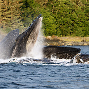 Humpback whales (Megaptera novaeangliae) engaged in bubble net feeding in the warm light of a sunny summer evening in Alaska