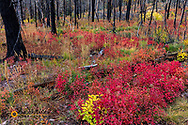 Autumn ground cover in burn area above St Mary Lake in Glacier National Park, Montana, USA