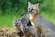 Gray Fox with pups in Habitat