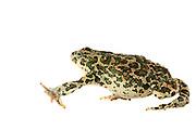 [captive] Green toads (Bufo viridis), Lake Coghinas (Italian: Lago di Coghinas) is an artificial lake, in northern Sardinia, Italy | Die Wechselkröte oder auch Grüne Kröte genannt (Bufo viridis, syn. Epidalea viridis) wurde von dem englisch-italienischen Forscherteam auf Sardinien gefangen. Diese Tiere werden 8 bis 10 cm groß.