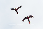2 Scarlet macaws in flight over Corcovado National Park, Costa Rica.