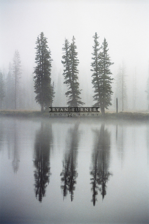 Three trees still alive and standing from the 1988 fires, in the fog along the Lewis River in Yellowstone National Park.