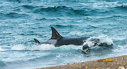 """STUNNING IMAGES CAPTURE ORCAS AS THEY DRIVE UP ON TO BEACH TO HUNT FOR SEA LION'S<br /> <br />  The hunts were taken at Valdés peninsula, Punta Norte. There are some beaches at Valdés, where very few orca whales are adapted to """"voluntary beaching"""" to get close enough to young sea lions, which play in the shallows. This is a dangerous undertaking for the whales, too. If they can't get back to deeper water they might die. Two incidents of a whale being saved by people occurred here. They spilled water over them while they were stuck, not to have them drying out. Next hightide freed them. At any given time there were less than 10 individuals capable of performing this art of hunting! Presently, this number might be a little higher. Voluntary beaching was recorded first in the seventies last century in that area. It is most probably the only area, where whales learned this technique. There are only few scattered records of this behavior from one place in the Indian Ocean, but that is not scientifically confirmed. So this is a very rare behavior in whales and it is a good example of the intelligent way these animals react to their environment.<br /> ©Reinhard Radke Nature Photography/Exclusivpeix Media"""