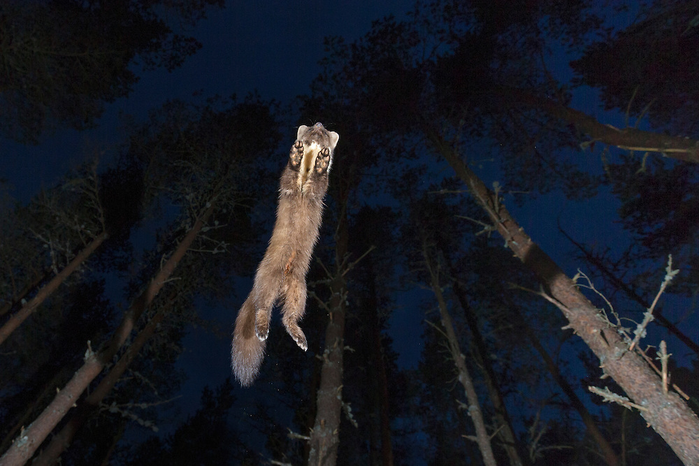 Pine marten (Martes martes) leaping through pine woodland at night, Glenfeshie, Scotland.