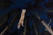 Pine marten (Martes martes) leaping through pine woodland at night, Glenfeshie, Scotland.