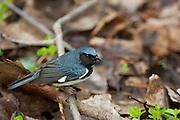 Black-throated Blue Warbler, Setophaga caerulescens, male, Magee Marsh, Ohio