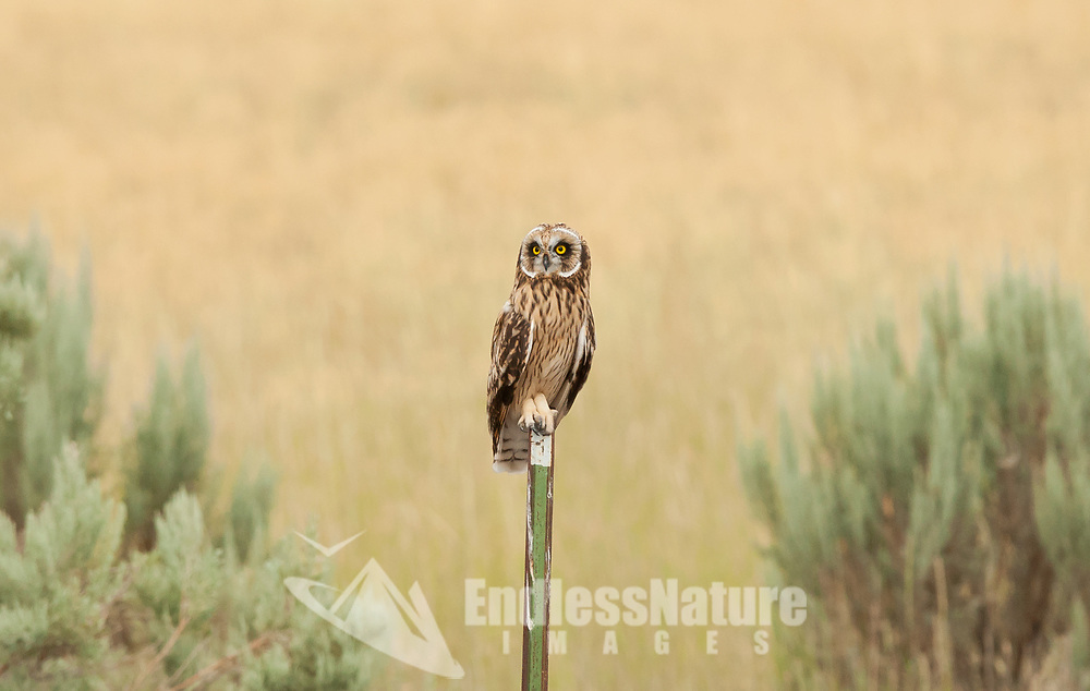 A Short Eared Owl sits on a fence post along a rural road in northern Utah.