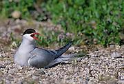 Arctic Tern (Sterna Paradisaea) on nest<br />Churchill<br />Manitoba<br />Canada