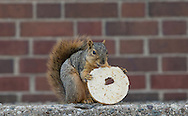 A squirrel eats a bagel on Tuesday afternoon near the First Presbyterian Church in South Bend. Tribune Photo/SANTIAGO FLORES