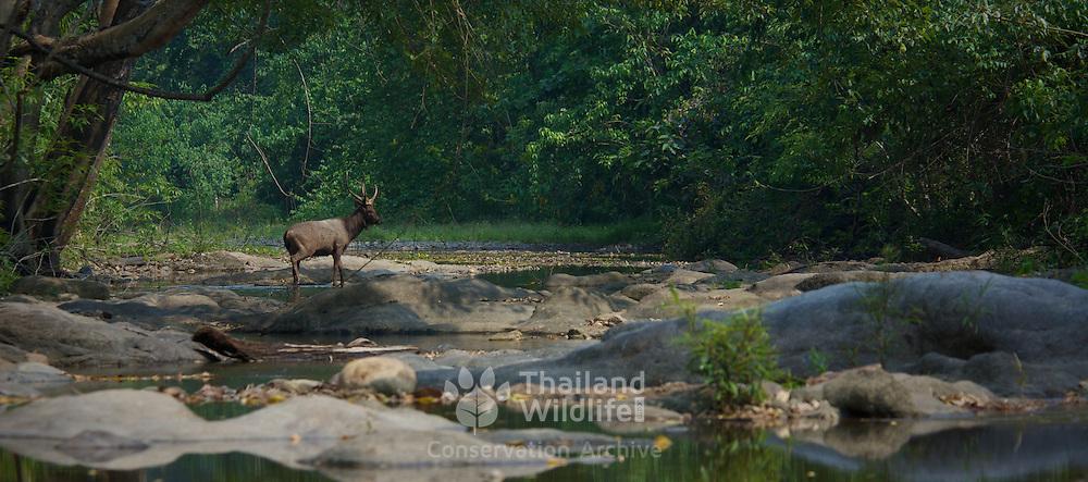 A wild Sambar (Rusa unicolor) stag in Huai Kha Khaeng Wildlife Sanctuary, Thailand.