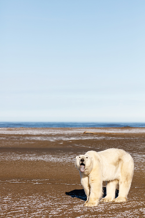 Polar bear (Ursus maritimus) yawning on spit on Barter Island near Kaktovik in Arctic National Wildlife Refuge in the Far North of Alaska. Autumn. Morning.