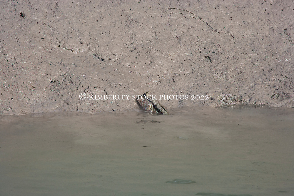 A mudskipper lies half submerged on a muddy bank in Red Cone Creek on the Kimberley coast.