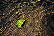 Single leaf underwater in local creek, near Veneta, Oregon