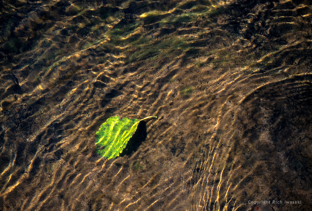 Single leaf underwater in local creek, near Veneta, Oregon