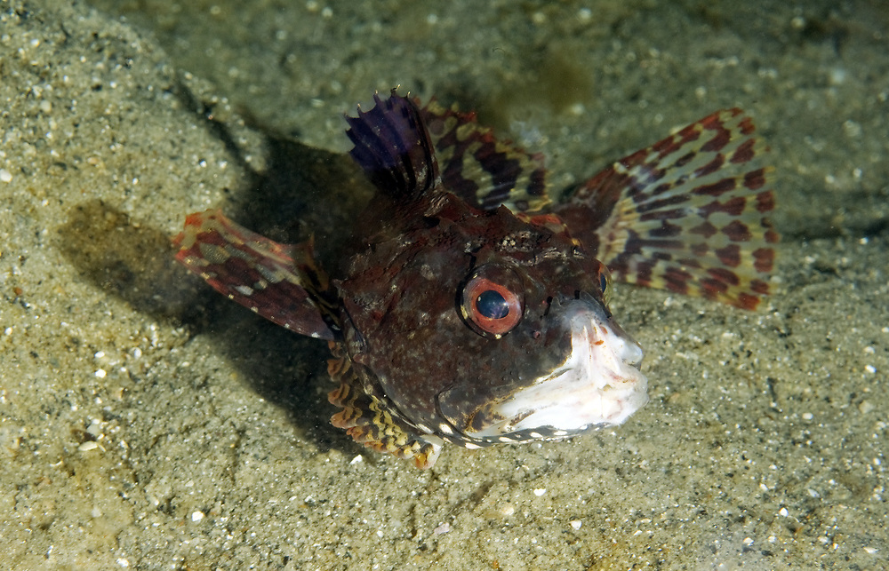Shorthorn Sculpin which have been caught in a fish trap for a long time. Many do not check their fishing gear regulary and we often find dead and dying fish in forgotten fish traps. This one ave lost half its mouth trying to get out of a fish trap. Location : Stavanger, Norway