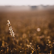 Wheat ear. This photograph was taken at a field in Lincolnshire.