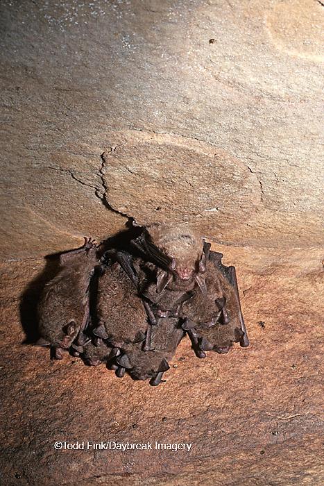 01842-001.03 (TF) Indiana bat (Myotis sodalis) Jackson Co.   IL
