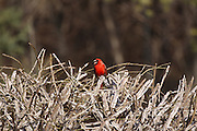 I shoulda, Dida cropped the Cardinal.  The original image speaks (to me) of the Cardinal's perserverance in staying around the neighborhood during the brutal winter months in Vermont