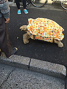 """Guy Walks His Pet Tortoise Around the Streets of Tokyo<br /> <br /> 19 years ago, 62-year-old Mitani Hisao walked into a Tokyo pet shop and purchased a five-centimetre baby tortoise. Hisao calls him Bon-chan and the African spurred tortoise now weighs 70 kg (154 lbs) and has a shell that measures 75 cm (2 ft 5 in) in diameter.<br /> Two to three times a week Hisao and Bon-chan go for long walks (1.5 – 2 hours!) on the streets of Tokyo, much to the delight of all onlookers and pedestrians. The slow moving duo cause a stir wherever they go.<br /> Although he is married, Misao, a funeral director, does not have any children. He says he considers Bon-Chan his son<br /> <br /> """"Bon-chan is the only one in my family that listens to me, so I confide in him all the time. I just say his name and he walks over to me.""""<br /> ©Exclusivepix Media"""
