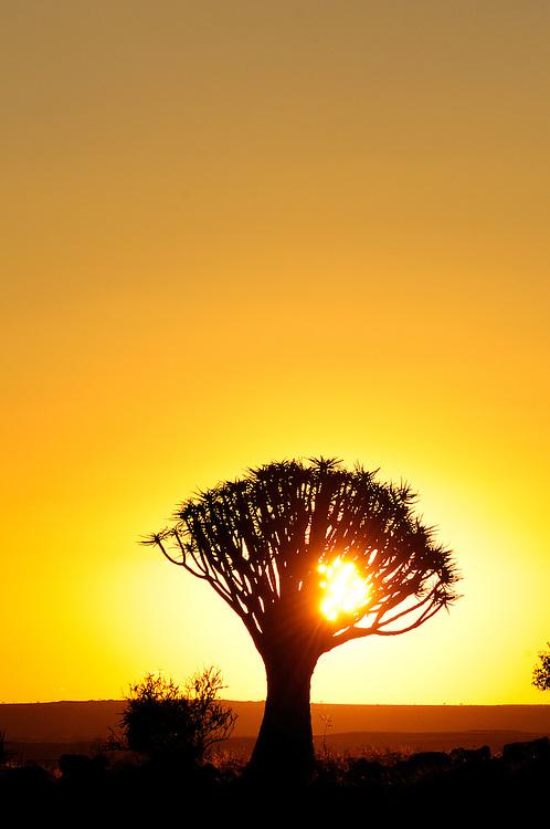 Sunset behind Kocherbaum, Quiver Tree, Quiver Tree Restcamp, Keetmanshoop, Karas Region, Namibia.