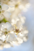 Groupings white blossoms