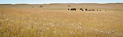 Bison graze in the 10,894-acre Tallgrass Prairie National Preserve located in the Flint Hills of Kansas in Chase County near the towns of Strong City and Cottonwood Falls. In October 2009, the Tallgrass Prairie National Preserve brought 13 genetically pure bison from Wind Cave National Park in South Dakota. The preserve plans to add more bison from Wind Cave with a final herd size between 75 and 100 bison. Tallgrass Prairie National Preserve is the only unit of the National Park Service dedicated to the preservation of the tallgrass prairie ecosystem. The Tallgrass Prairie National Preserve is co-managed with The Nature Conservancy.
