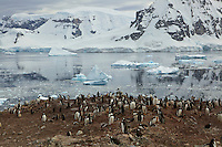 Gentoo Penguin (Pygoscelis papua) breeding colony on Danko Island, Antarctic Peninsula.