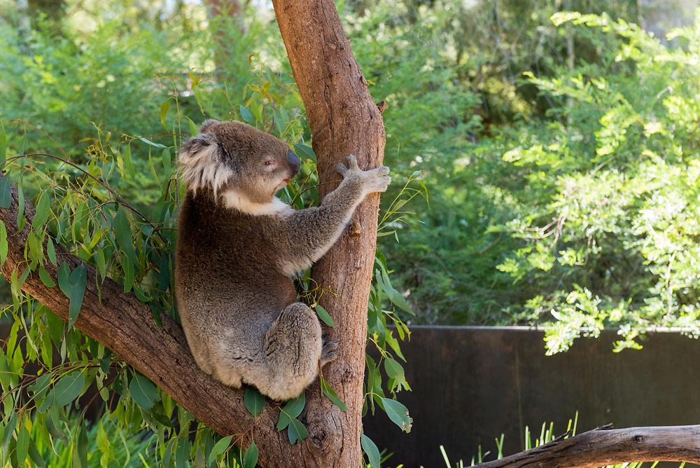Koala Bear hanging out in a tree in Tasmania, Australia
