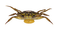 Green Shore Crab - Carcinus maenas infected with parasitic barnacle - Sacculina carcini