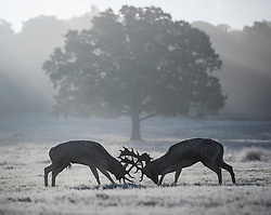 © Licensed to London News Pictures. 28/10/2019. London, UK. Deer stags rutting in a frost and mist covered landscape on a bright winter morning in Richmond Park, London. The UK is due to see brighter weather over the next few days, following days of heavy rain which caused flooding in parts. Photo credit: Ben Cawthra/LNP