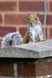 A Grey Squirrel (Scientific name Sciurus Carolinensison) looks over a wall in a British Suburban Garden<br /> <br />  Copyright Paul David Drabble<br /> 17 July 2019<br />  www.pauldaviddrabble.co.uk