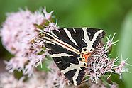 Euplagia quadripunctaria - Jersey Tiger Moth