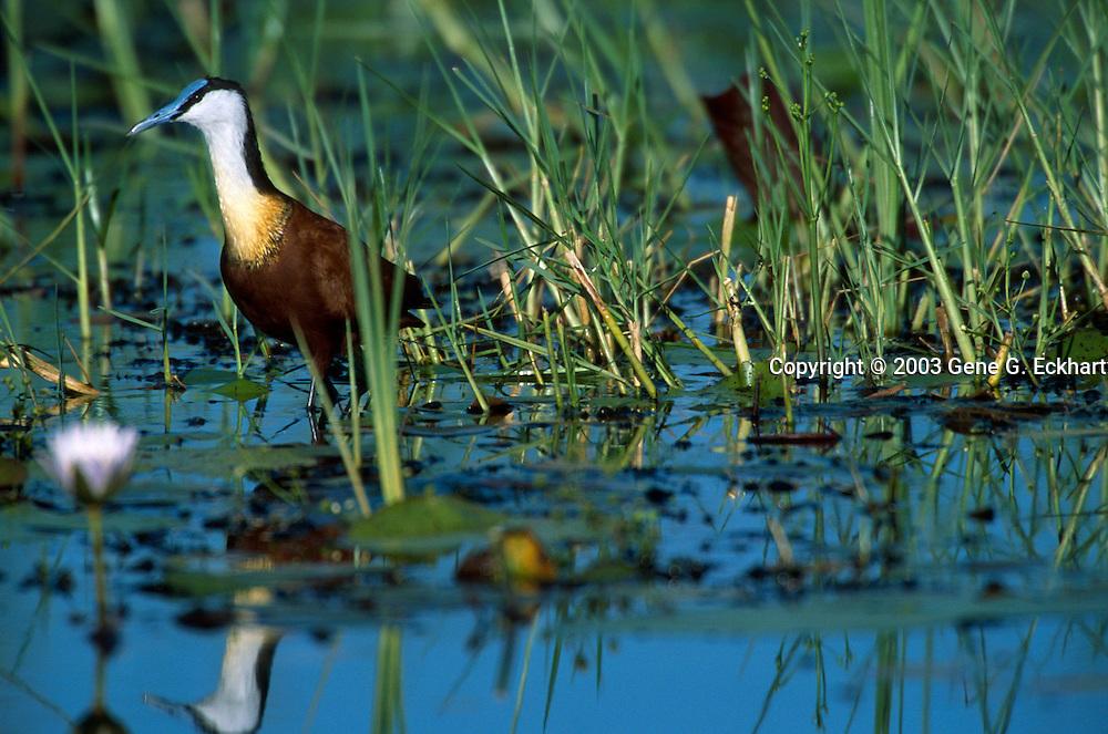 African Jacana (Actophilornis africanus) - Mombo - Okavango Delta - Botswana