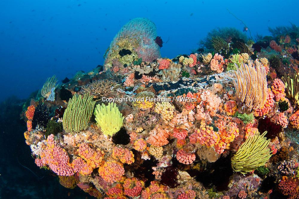 Tubastrea coral and crinoids dominate this Philippine reef scene.