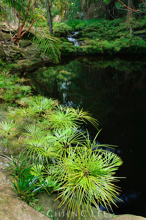 Dipteris lobbiana, a primitive rheophytic fern.  Like many rheophytes, this plant has slender leaves which are not easily torn in rushing flood waters. Sarawak, Malaysia.