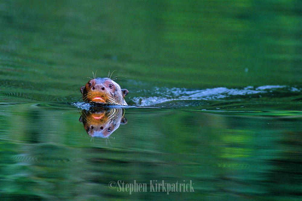 Giant River Otter swimming in lake - Amazonia, Peru