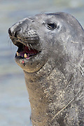 A sub-adult male southern elephant seal shows its dog like teeth