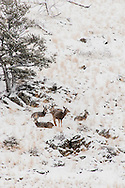 Mule deer, does, yearlings, storm
