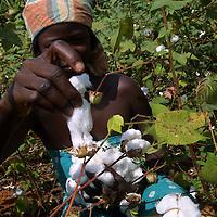Benin november 22, 2001 - Cotton picker in cotton fileds at the center on Benin.( Jean-Michel Clajot / Aurora Photos )