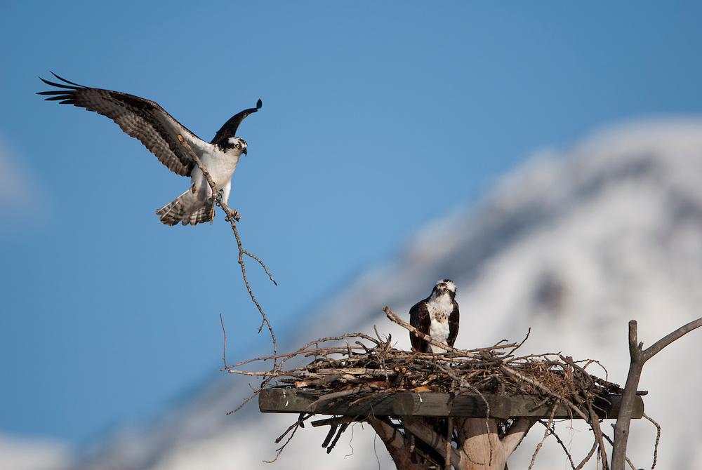 A pair of ospreys (Pandion haliaetus) work on their Western Montana summer home.