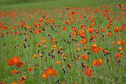 A field of colorful Orange Hawkweed flowers in Maine in the summer