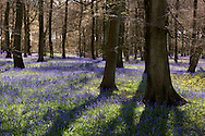 Bluebells (Hyacinthoides non scripta) in Nuffield Place Woodland in Huntercombe, Oxfordshire, UK