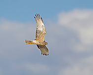 New Zealand Harrier - Circus approximans